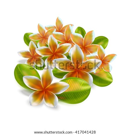 Plumeria, Frangipani Flowers isolated with green leaves on white background - stock photo