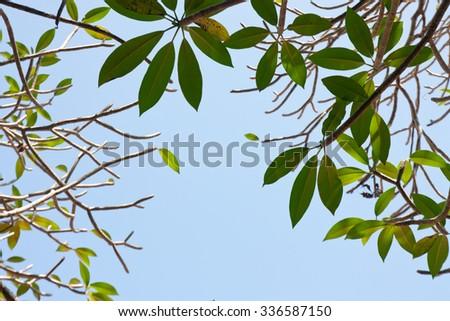 Plumeria (frangipani) tree - stock photo