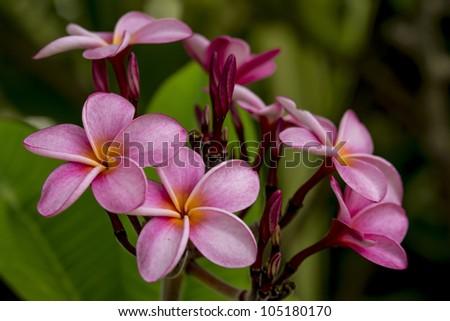 Plumeria in Barbados - stock photo