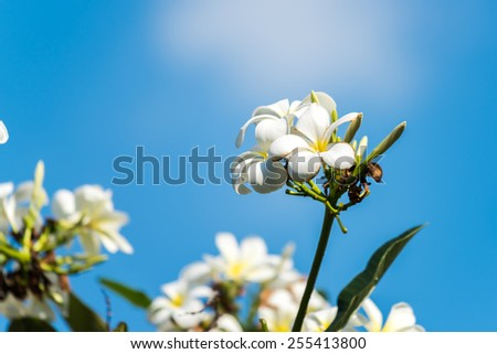 Plumeria in its tree with beautiful blue sky in background - stock photo