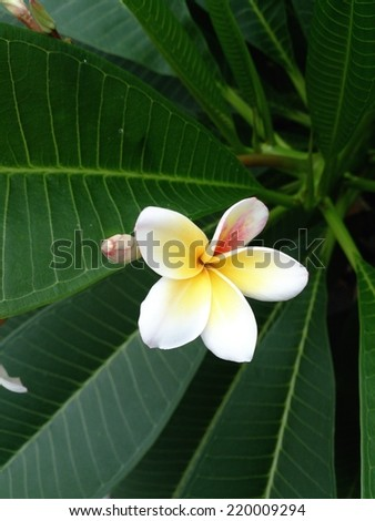 plumeria is a blooming