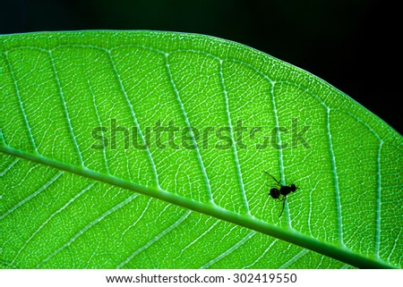 Plumeria leaf and one insect  - stock photo