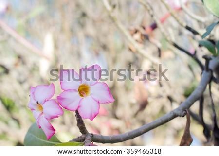 plumeria on the plumeria tree. - stock photo