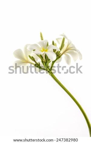 Plumeria or frangipani blossom isolated on white background. - stock photo