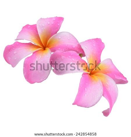 Plumeria pink flowers on white background - stock photo