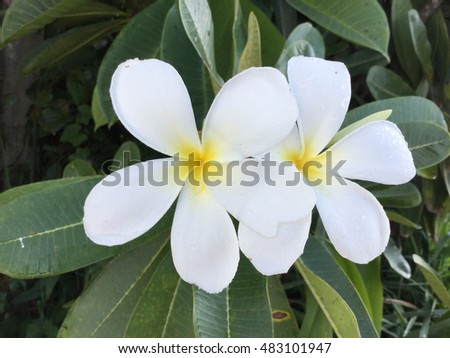 Plumeria set. Tropical exotic flower - plumeria. Realistic floral illustration. Botanical vector with plumeria.  Isolated on white