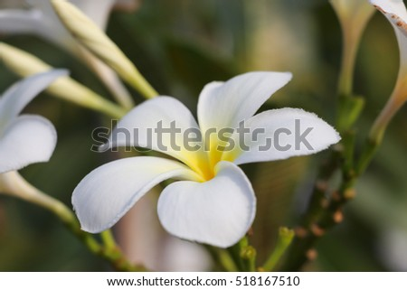 Plumeria white color nature  on the tree