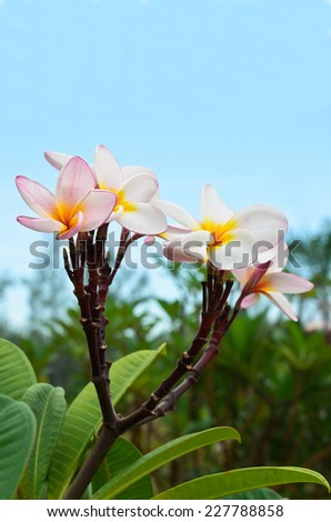 Plumeria with blue sky background - stock photo