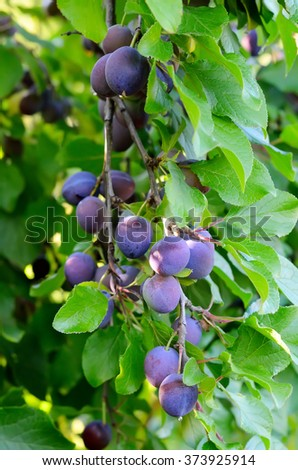 Plums on a tree in a garden - stock photo