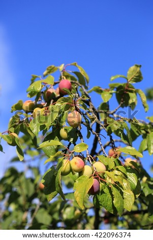plums on the tree in the garden