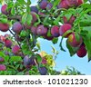 Plums on tree - stock photo