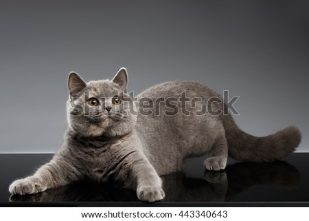 Plush Gray British Cat Playing and Curious Looks on Dark Background, Front view
