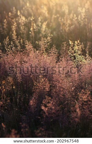 Poaceae (also called Gramineae or true grasses) - meadow during sunset - stock photo