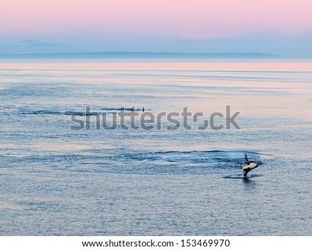 Pod of killer whales - stock photo