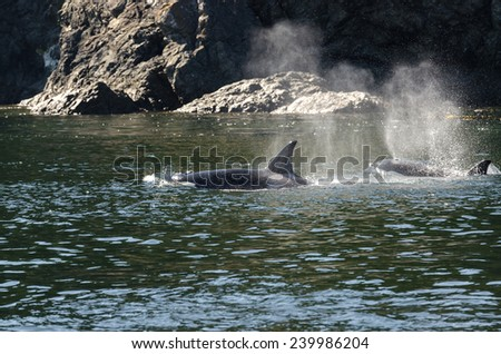 pod of orcas Killer Whale between the islands of Vancouver - stock photo