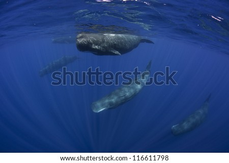 Pod of sperm whales swimming off the coast of Sri Lanka - stock photo
