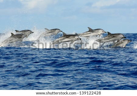 Pod of striped dolphins (Azores) - stock photo