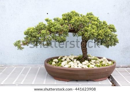 Podocarpus in a garden - stock photo