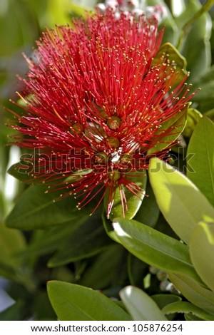 Pohutuakawa flower, also referred to as the New Zealand Christmas Tree. - stock photo