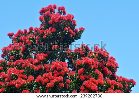 Pohutukawa red flowers blossom in the month of December in Auckland New Zealand. - stock photo