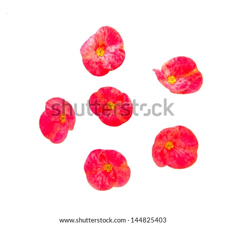Poi Sian flowers on white background