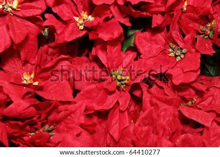 Poinsetta background - stock photo