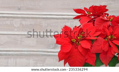 poinsettia. Christmas flower on wooden background - stock photo