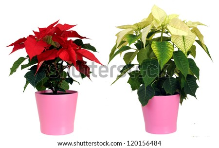 Poinsettia (euphorbia pulcherrima) against white background - stock photo