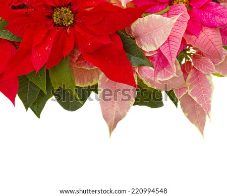 Poinsettia flower (christmas star) border isolated on a white background - stock photo