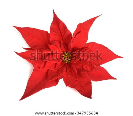 poinsettia flower isolated on white background