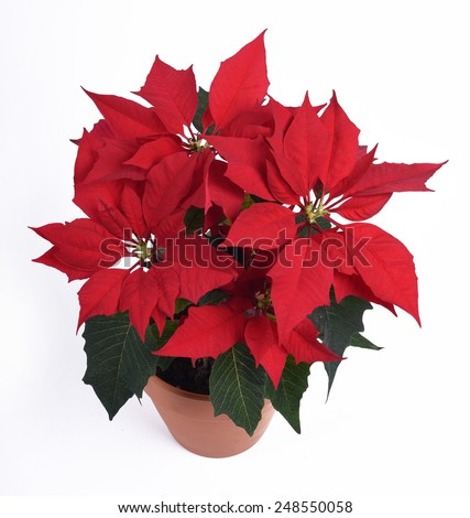 poinsettia flower on white background