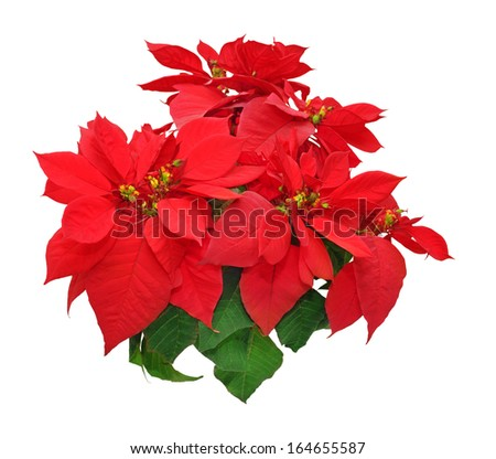 poinsettia flowers on white background
