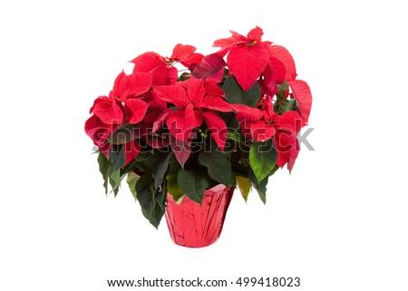 Poinsettia for Christmas Decoration
