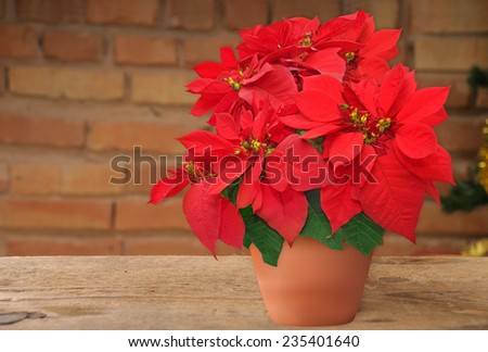poinsettia in flowerpot. beautiful Christmas flower on the brick wall background