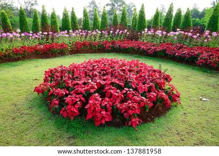 poinsettia in garden - stock photo