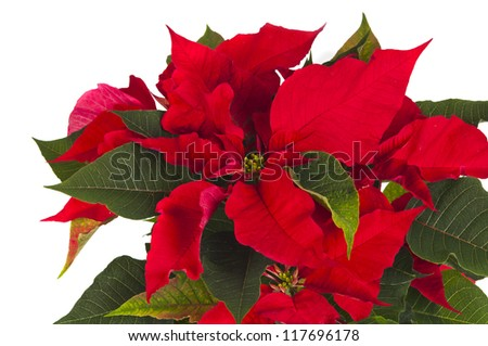Poinsettia is a traditional Christmas Flower. It is known as Bethlehem Star in some countries.