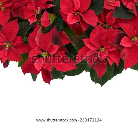 Poinsettia plant, isolated on a white background, fills the top half of the frame used for Christmas displays and themes.  Room for copy space.  - stock photo
