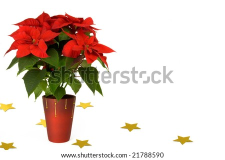 Poinsettia with yellow stars isolated on white - stock photo