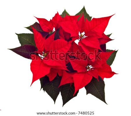 poinsettias Christmas flower isolated on white background - stock photo