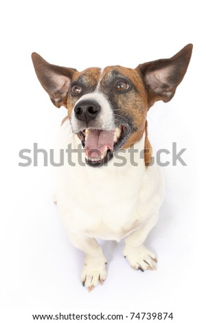 Pointed ears of Jack Russell Terrier dog - stock photo
