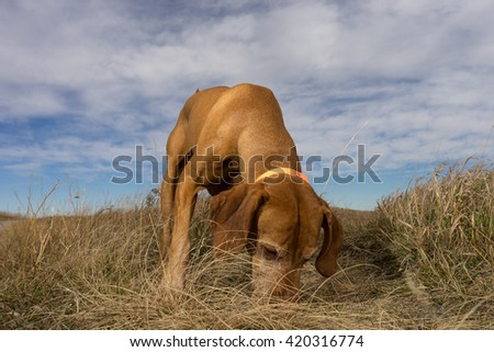 pointer dog sniffing the ground outdoors in the grass