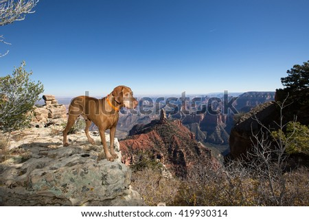 pointer dog stands of the edge of grand canyon arizona usa