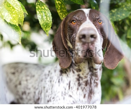Pointer hunting dog close up in the neighbor's green yard. - stock photo