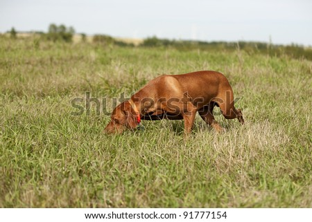 pointing dog performing field search - stock photo