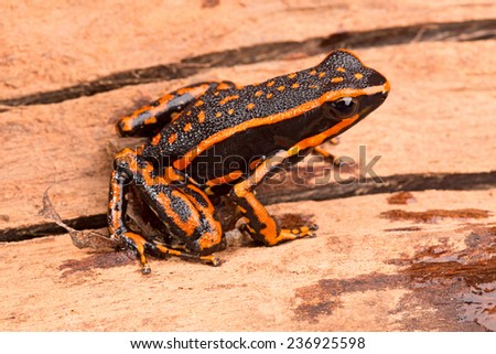 poison arrow frog Ameerega trivittatus a tropical amphibian fromthe Amazon jungle - stock photo