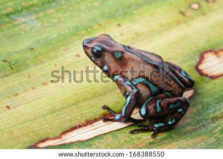 Poison arrow frog, Dendrobates auratus camouflage from the tropical rain forest in Panama. Beautiful poisonous amphibian on a leaf. - stock photo