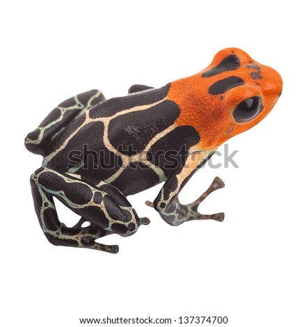 Poison arrow frog isolated. Tropical small exotic amphibian from Amazon jungle in Peru kept as pet animal in a jungle terrarium. Macro of beautiful cute poisonous amphibian ranitomeya fantastica - stock photo