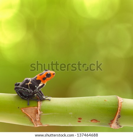 Poison arrow frog on branch green background Tropical small exotic amphibian from Amazon jungle Peru Iquitos Macro of beautiful cute poisonous amphibian ranitomeya fantastica natural purity copy space - stock photo