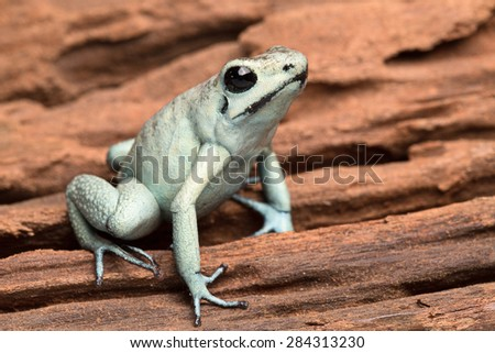 poison arrow frog, poisonous animal Phyllobates terribilis from the tropical amazon rain forest of Colombia - stock photo