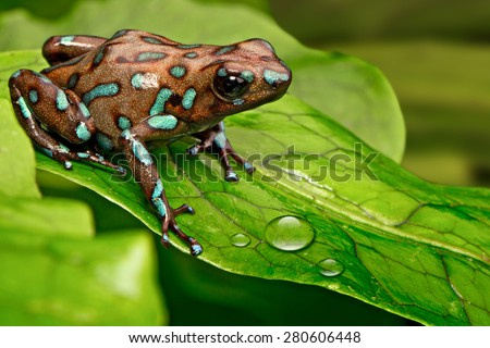 poison dart frog Dendrobates auratus from the tropical rain forest of Panama, Beautiful poisonous rainforest animal. Exotic amphibian with warning colors - stock photo